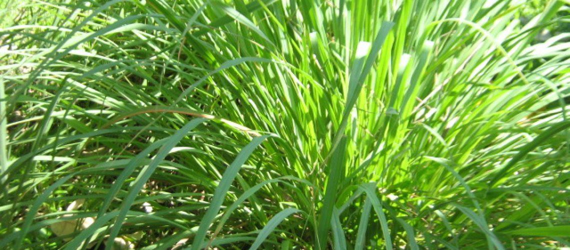 Lemongrass_