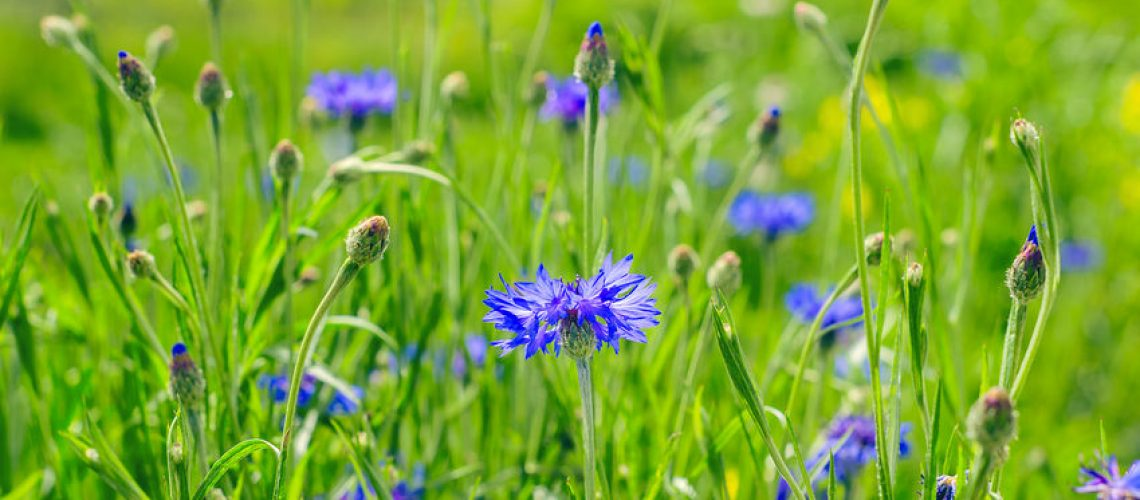 Blue Cornflowers, also called Bachelor's Buttons in the Field on a Bright Summer Day.